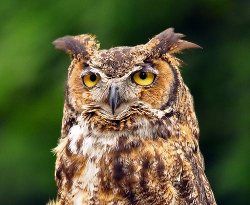 Do Great Horned Owls Swim?