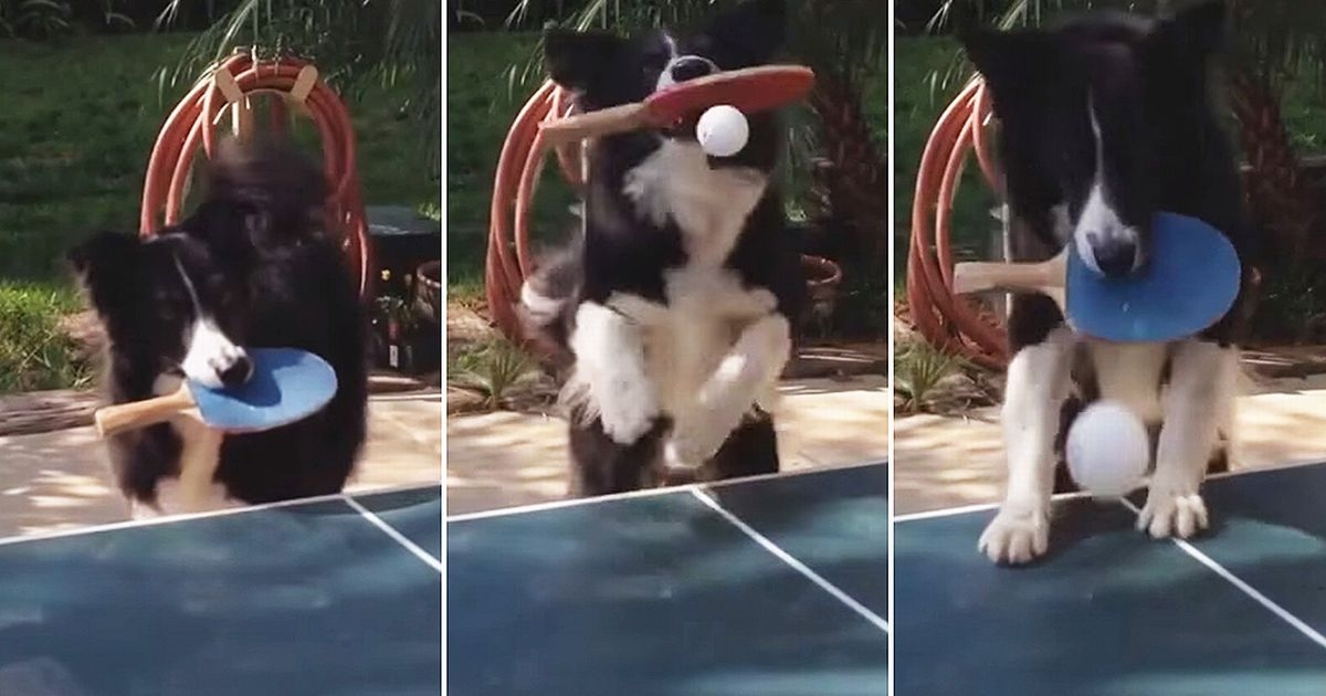 This dog is better at Ping-Pong than me!!!