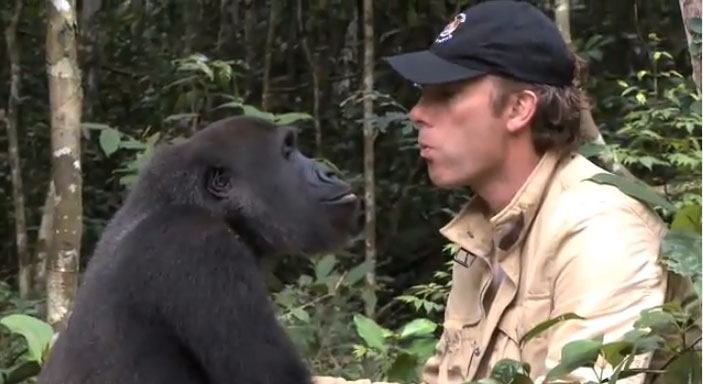 How would the gorilla react when seeing his long lost friend? *VIDEO*