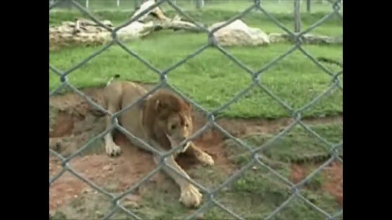 Lion feels grass for the first time *VIDEO*