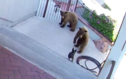 Bears scared away by a 20 pound French Bulldog....