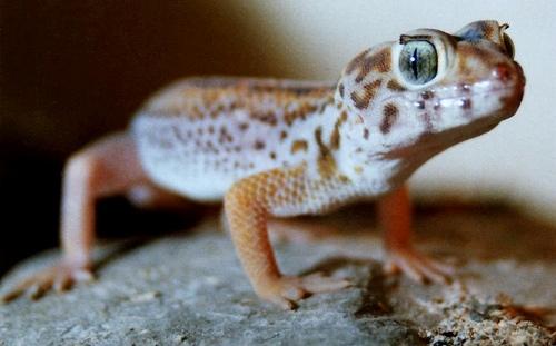12 surprises about Geckos