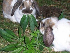 http://d2x3wmakafwqf5.cloudfront.net/wordpress/wp-content/blogs.dir/206/files/2015/03/STONED-RABBITS-300x225.jpg