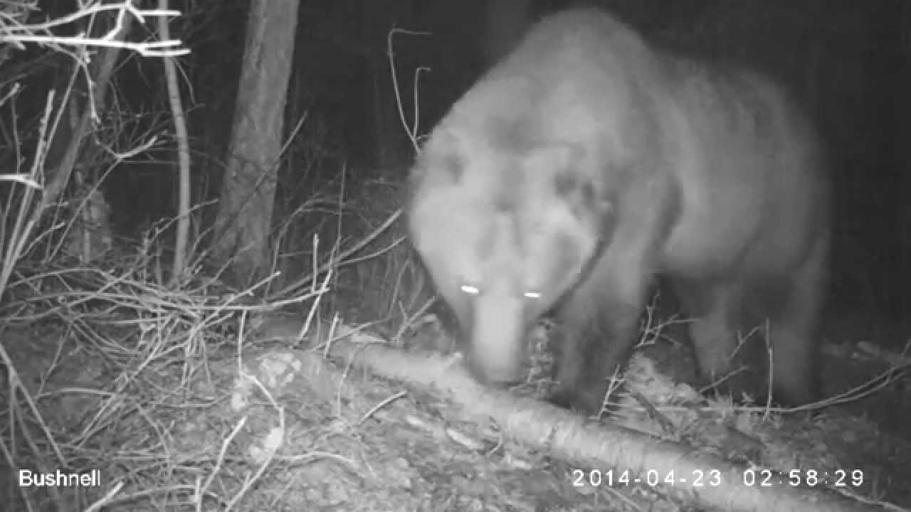 Watch all of the Bears: Live Bear Cams