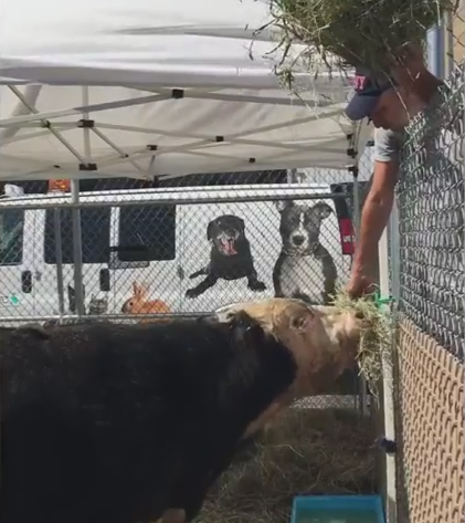 Jon Stewart Rescues Escaped Bull headed to Slaughterhouse.